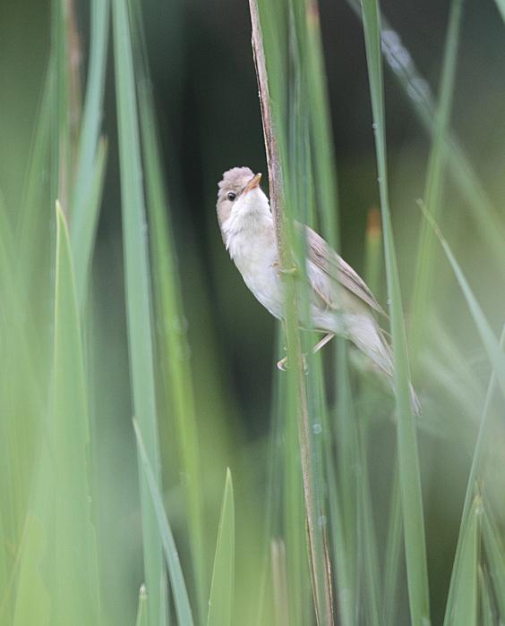 Sumpfrohrsänger seit gestern als 91. beobachtete Art im eigenen Garten (Frdbg.-Hohenheide), 15.06.2011, Foto: Bernhard Glüer