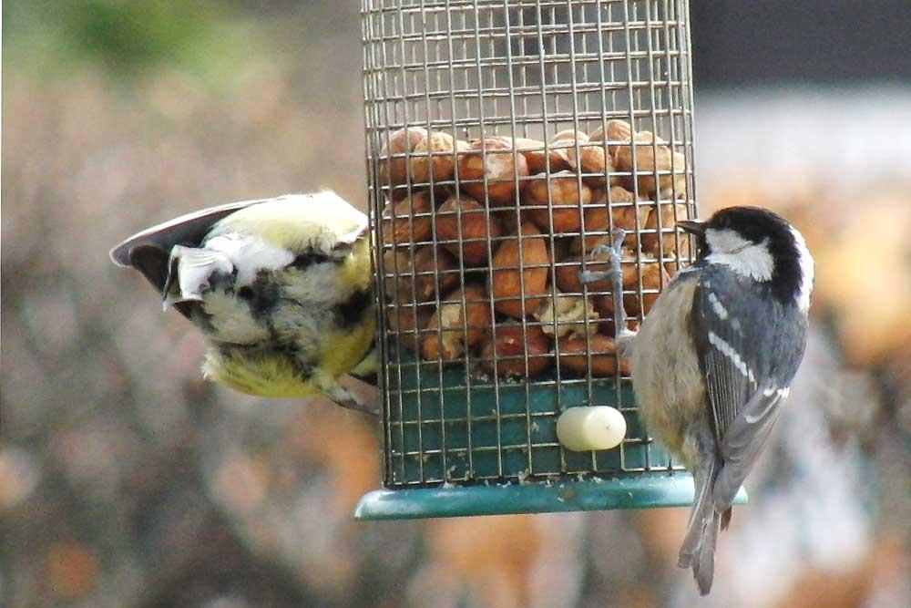 Tannenmeise und Kohlmeise an der Fütterung im eigenen Garten in Bönen am 19.01.2011 Foto: Herbert Teuppenhayn