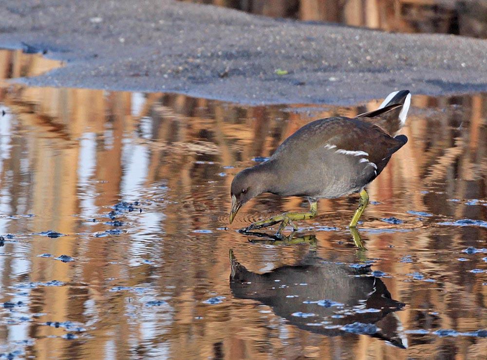 Diesjährige Teichralle im Wassergewinnungsgelände, 18.12.2011, Foto: Bernhard Glüer