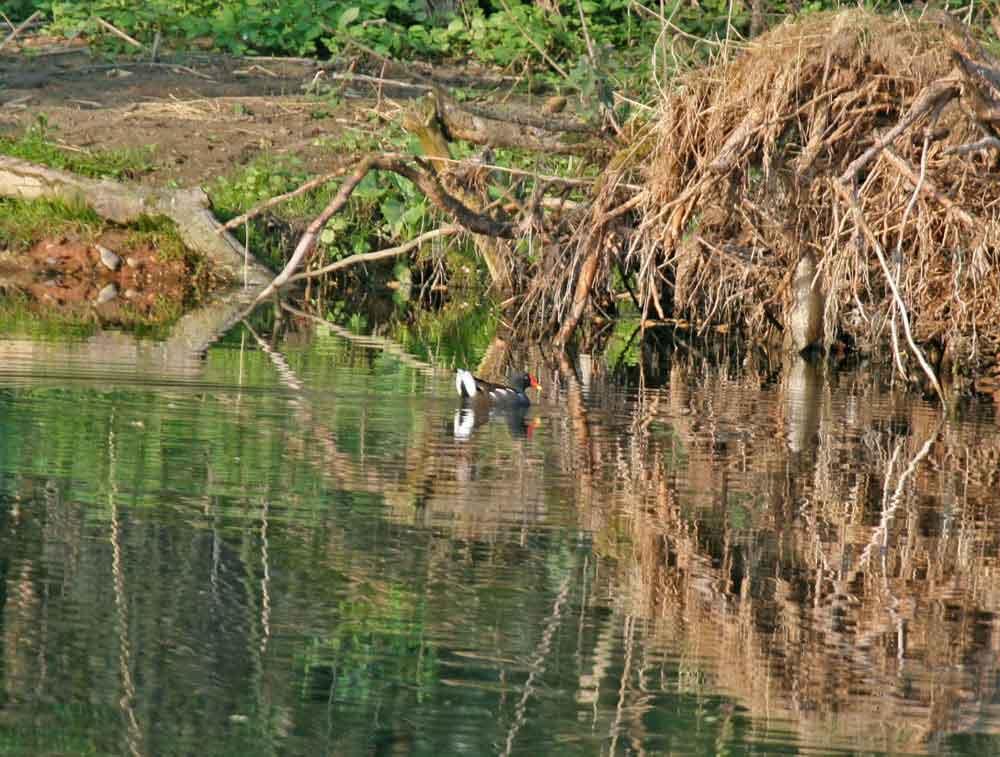 Lange war sie an der Kiebitzwiese verschollen: die Teichralle am 21.04.2011 Foto: Gregor Zosel