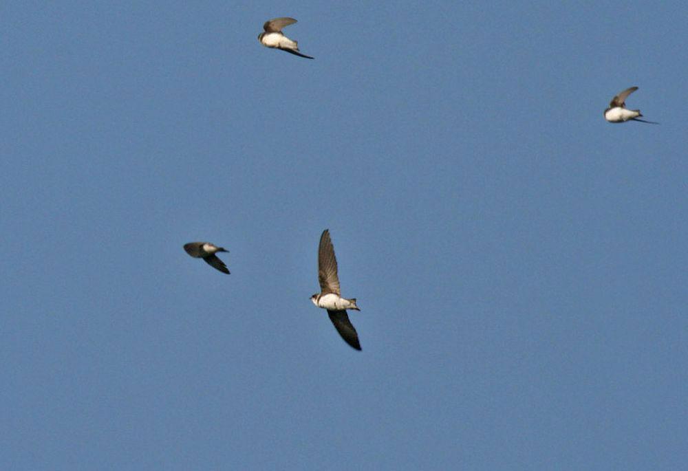 Elegante Flieger über dem Wehr: Uferschwalben auf Nahrungsflug am 22.04.11 Foto: Gregor Zosel