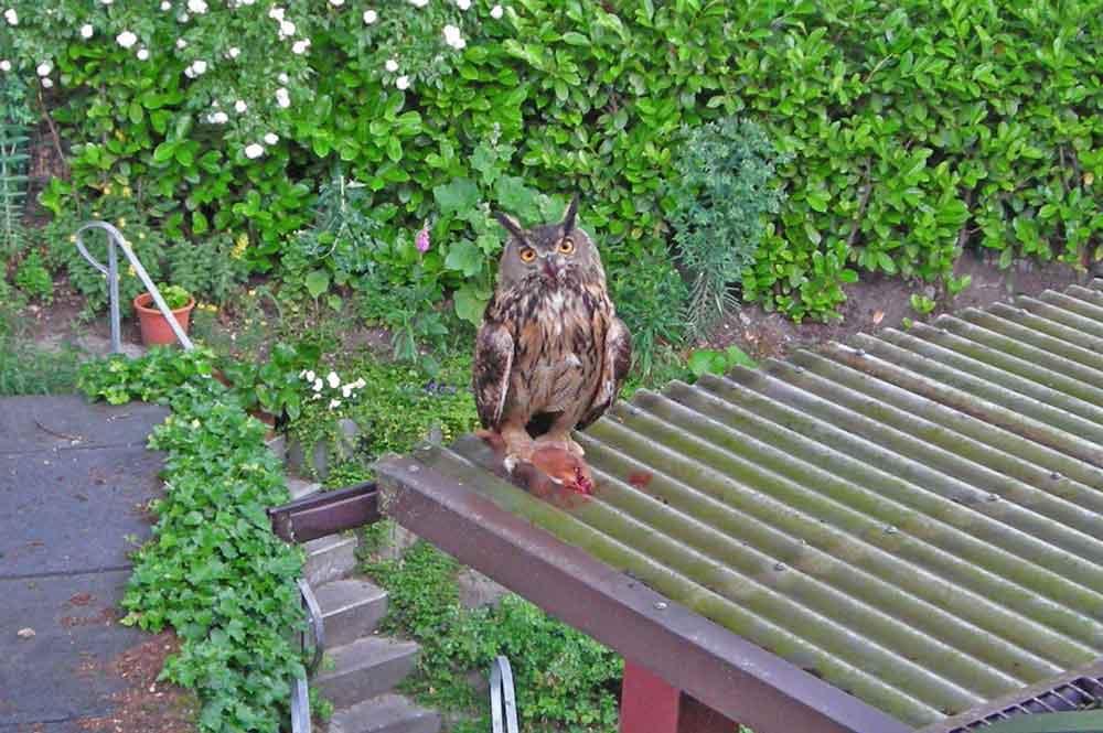 Uhu mit erbeutetem Eichhörnchen auf dem Plastikdach am 06.06.11 Foto: Fam.Preuß,privat