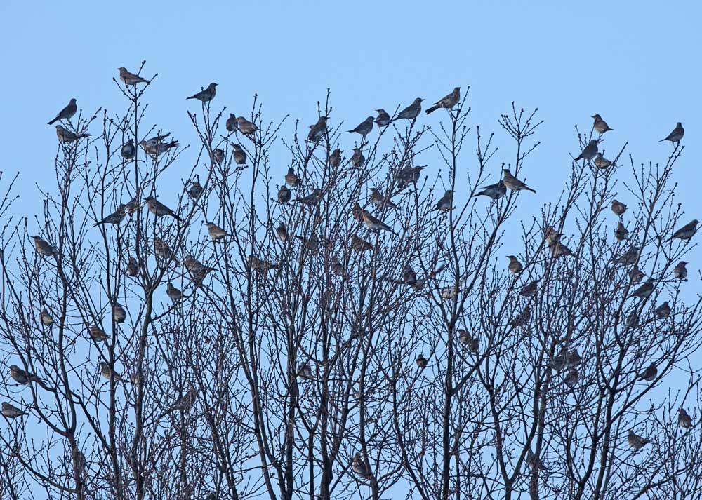 Wacholderdrosseln im Gewerbegebiet Unna/Ost, 18.12.2011, Foto: Bernhard Glüer
