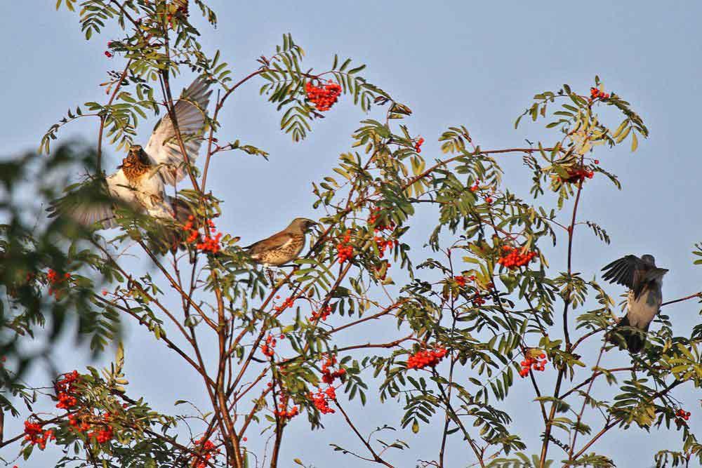 Wacholderdrosseln im Vogelbeerbaum im Hammer Wasserwerk am 25.09.11 Foto: Gregor Zosel