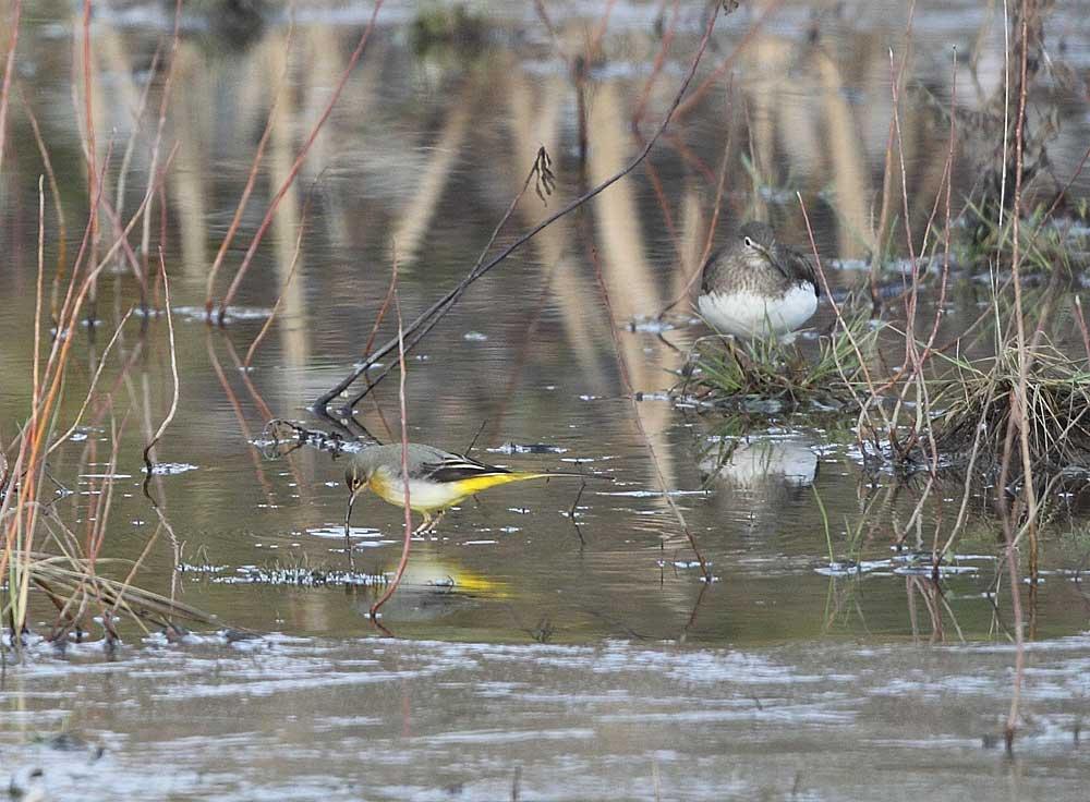 Gebirgsstelze mit Waldwasserläufer im Regenrückhaltebecken Schwarzer Weg (Bönen), 11.01.11 Foto: Bernhard Glüer