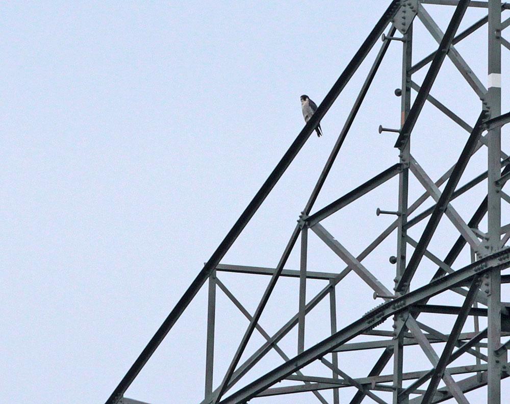 Das kleinere Wanderfalkenmännchen im nächsten Mast an der fast gleichen Stelle der oberen Traverse, 17.11.2011 Foto: Bernhard Glüer