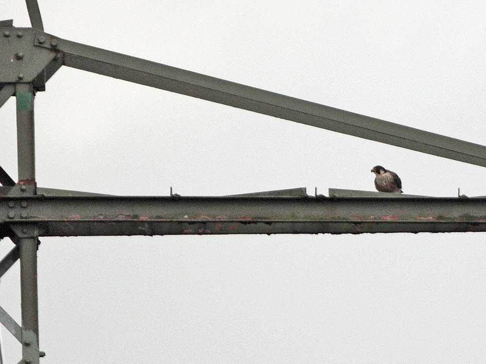 Mehrjähriger Wanderfalke mit Beute auf Mast in Kiebitzwiese, 26.01.11 Foto: Bernhard Glüer
