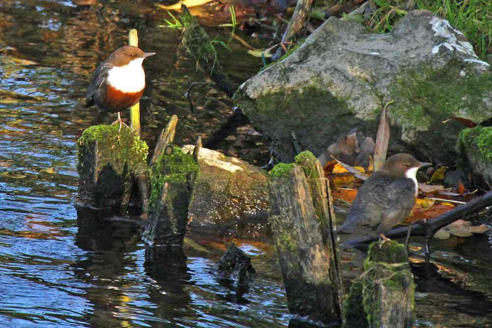 Wasseramselpaar an der Hönnemündung am 06.11.11 Foto: Gregor Zosel