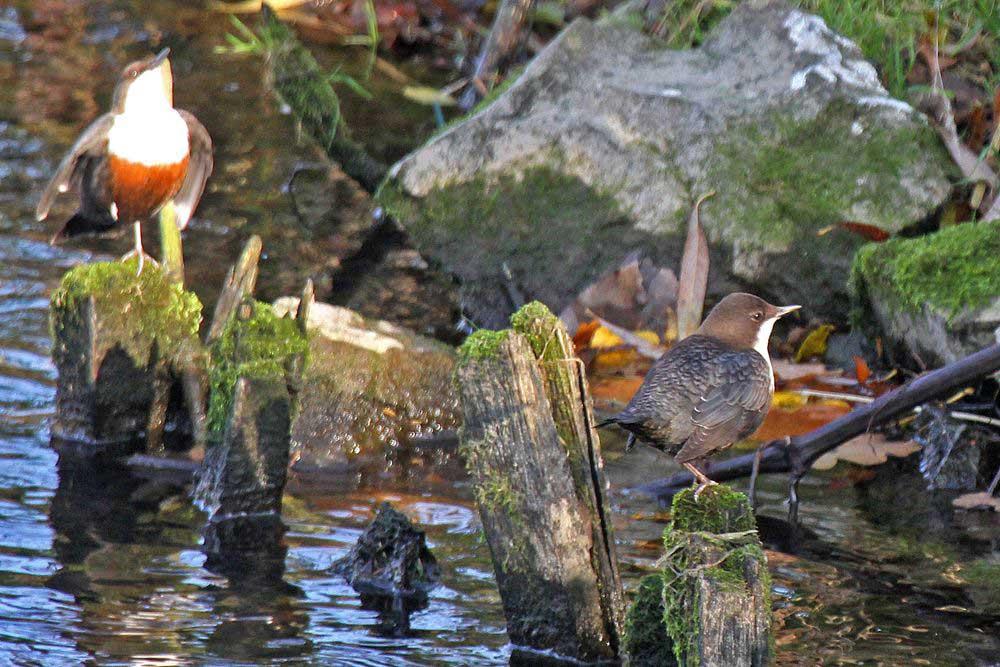 Das Weibchen sieht beeindruckt dem Balzgehabe des Männchens zu.... am 06.11.11 Foto: Gregor Zosel