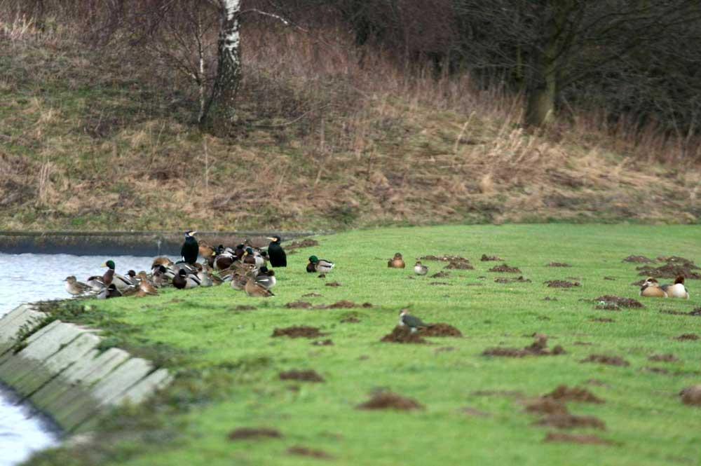 Enten, Kormorane und Kiebitz im Hammer Wasserwerk bei Fröndenberg am 16.01.2011 Foto: Gregor Zosel