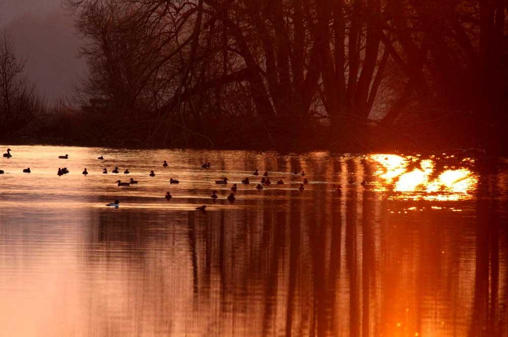Wasservögel bei Sonnenuntergang auf der Ruhr im NSG Kiebitzwiese, 29.01.11 Foto: Gregor Zosel