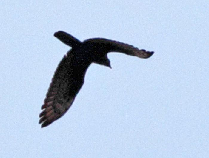 Sehr hoch fliegender (weiblicher?), dunkler Wespenbussard über Hohenheide nordwärts unterwegs, 15.06.2011, Foto: Bernhard Glüer