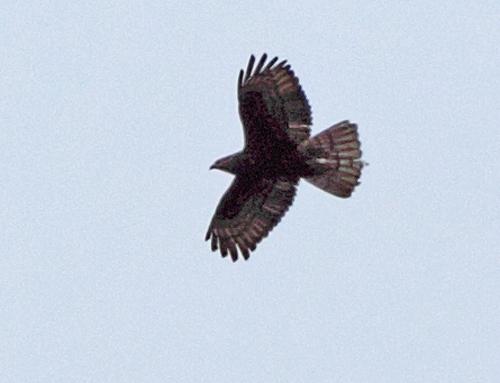 Ein dunkles Weibchen über Priorsheide - dasselbe (?) wie im Vorjahr, 22.06.2011, Foto: Bernhard Glüer