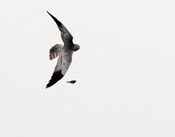 Ein nicht identifizierter Kleinvogel wird aufgescheucht und verfolgt..., 14.06.2011, Foto: Bernhard Glüer