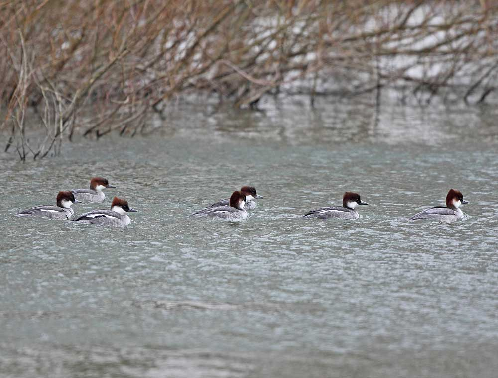 Zwergsäger im Wassergewinnungsgelände, 06.02.11 Foto: Bernhard Glüer
