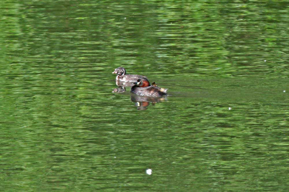 Zwergtaucher mit Jungvogel auf der Ruhr am 23.06.11 Foto: Gregor Zosel