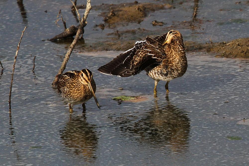 Zwei Bekassinen im seichten Wasser...am 10.09.12 Foto: Martin Wenner