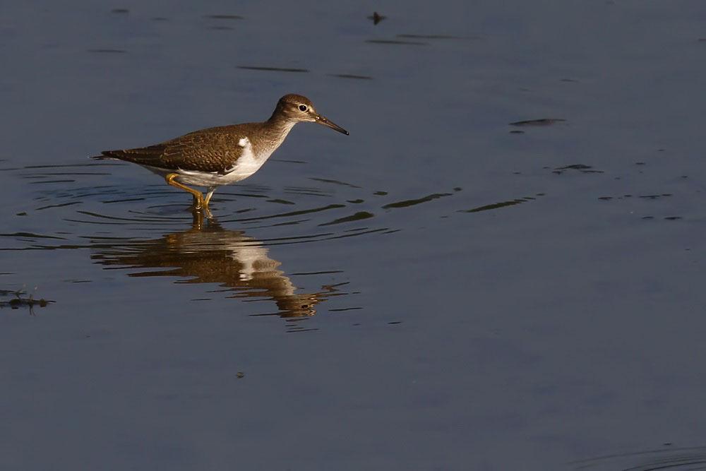 Gleich nebenan ein Flussuferläufer...am 08.09.12 Foto: Martin Wenner