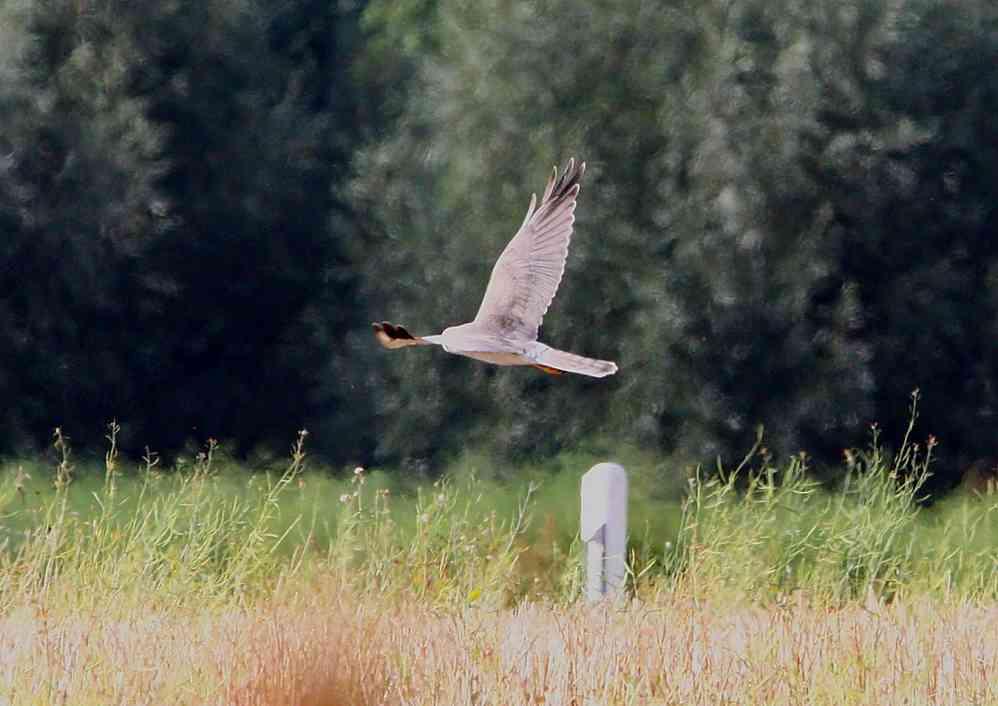 Steppenweihe am 06.09.2012 Foto: A. Langer