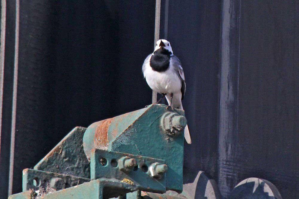 Charaktervogel des Hammer Wasserwerkes: die Bachstelze. Überall heute hier singende Vögel, wie hier auf der Sandaufbereitungsmaschine....am 24.03.12 Foto: Gregor Zosel