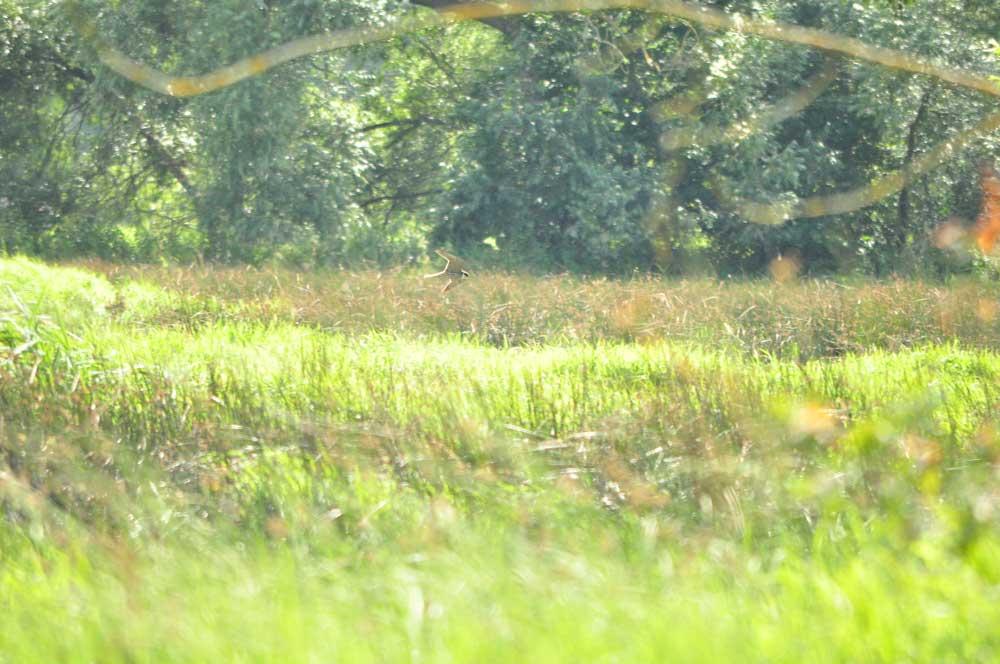 Jagender Baumfalke in den Röllingwiesen, 29.07.2012 Foto: Sebastian Reß
