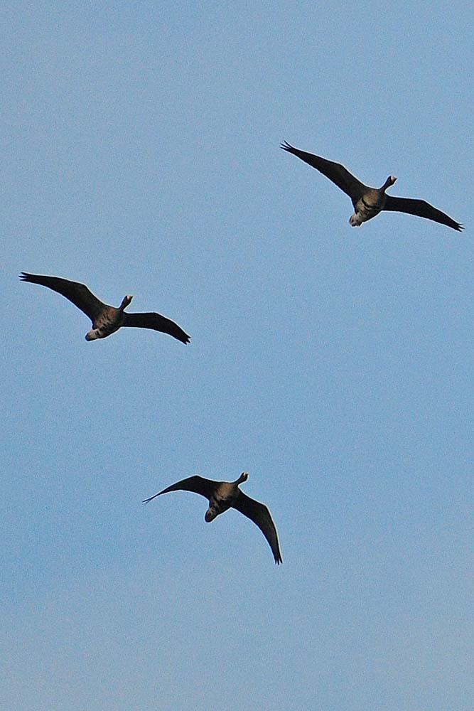 Ebenfalls mal etwas anderes, ein Trupp Blässgänse überfliegt die Kiebitzwiese, 28.12.2012 Foto: Marvin Lebeus