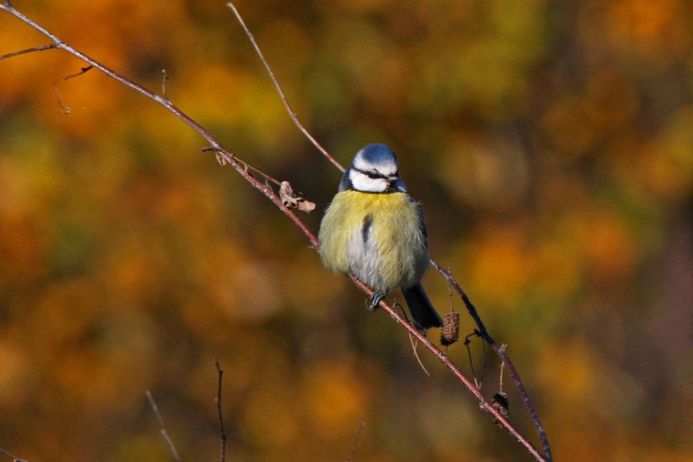 Herbstliche Blaumeise...am 14.11.12 Foto: Gregor Zosel