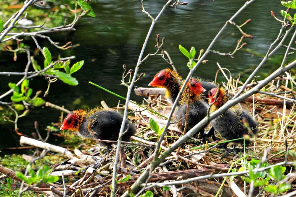 Blessrallenjunge auf dem Nest am Ruhrufer...am 31.07.12 Foto: Marvin Lebeus