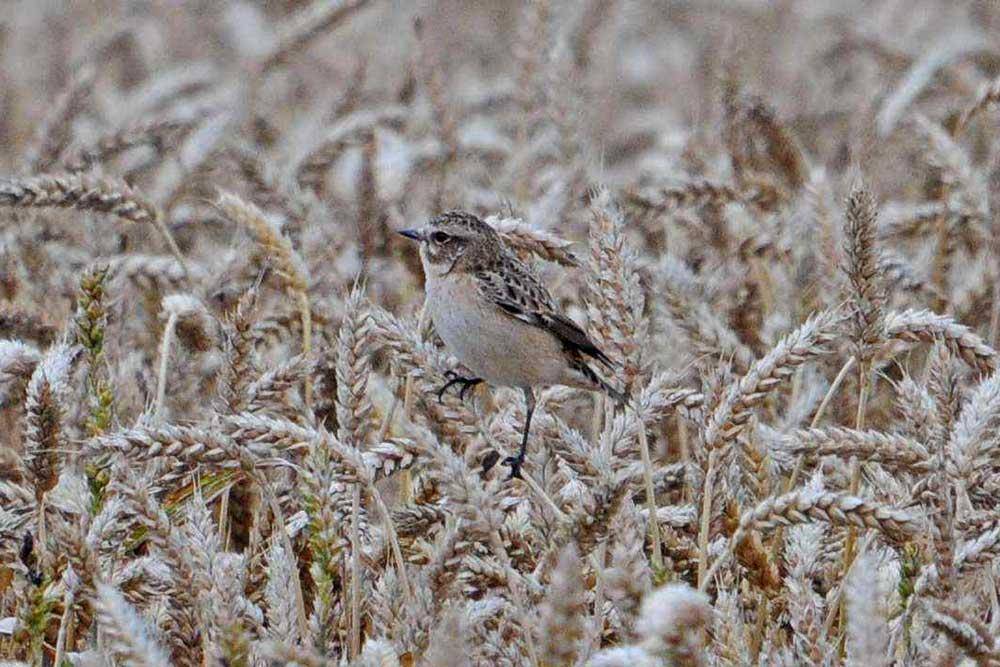 Braunkehlchen im Getreidefeld bei Bentrop ....am 28.08.12 Foto: Marvin Lebeus