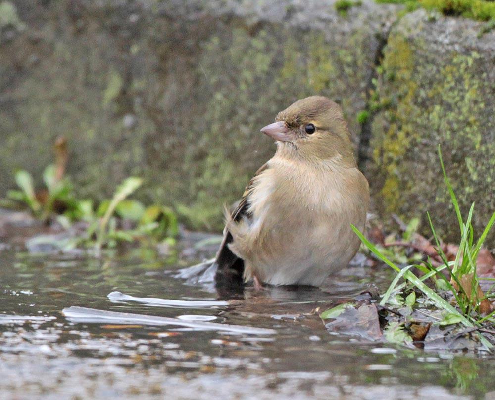 Buchfinkweibchen nimmt ein Bad (Indupark Unna / Ost), 22.01.2012 Foto: Bernhard Glüer
