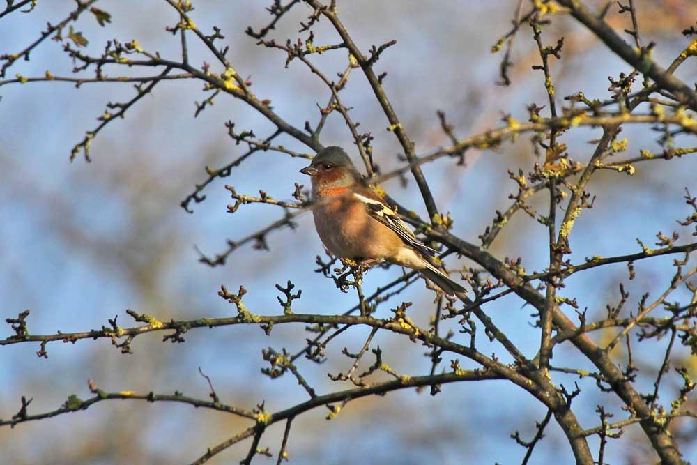 Buchfink in den Hemmerder Wiesen..am 12.11.12 Foto: Gregor Zosel