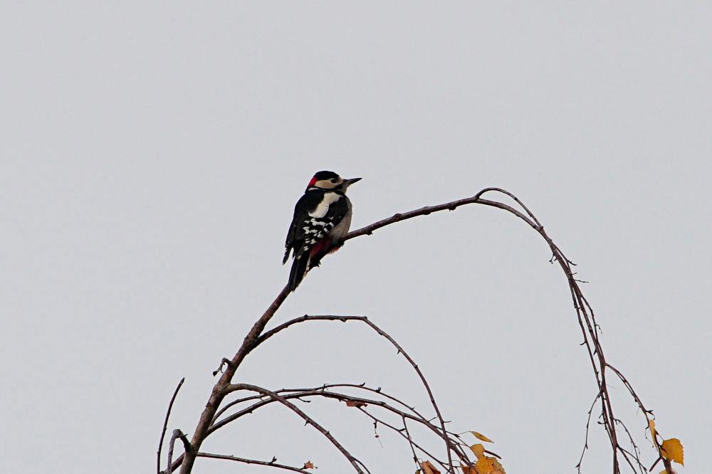 Buntspecht in Birke.....am 11.11.12 Foto: Marvin Lebeus
