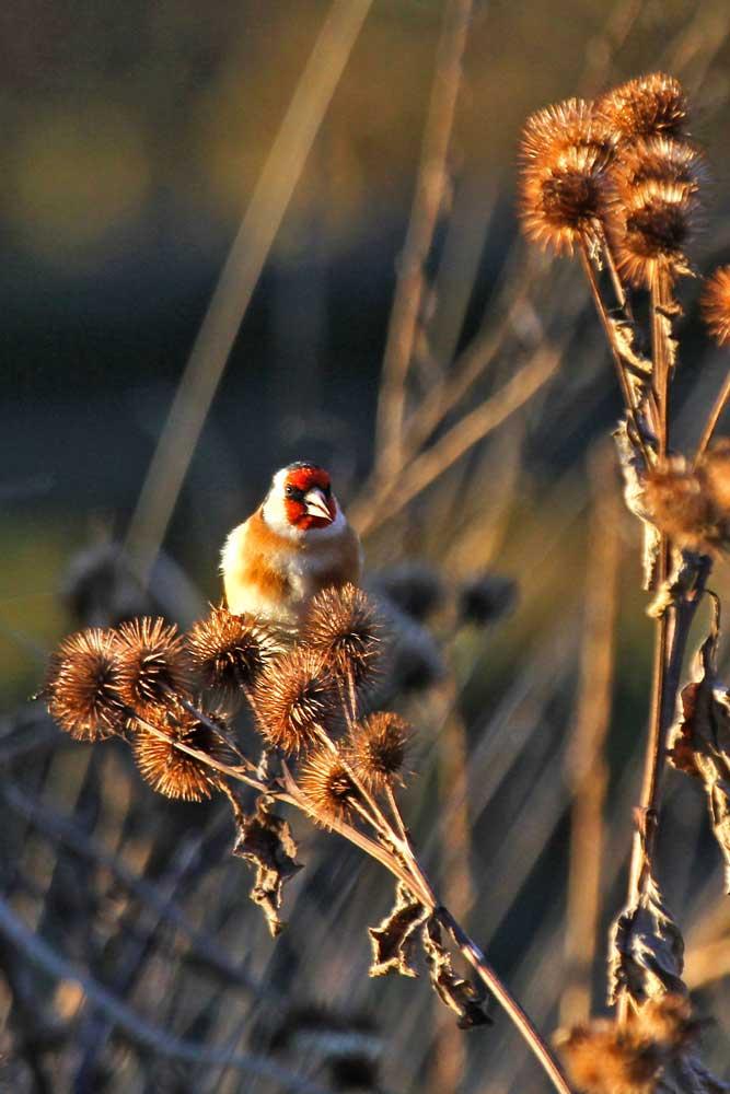 Distelfink in der Morgensonne ..am 14.11.12 Foto: Gregor Zosel