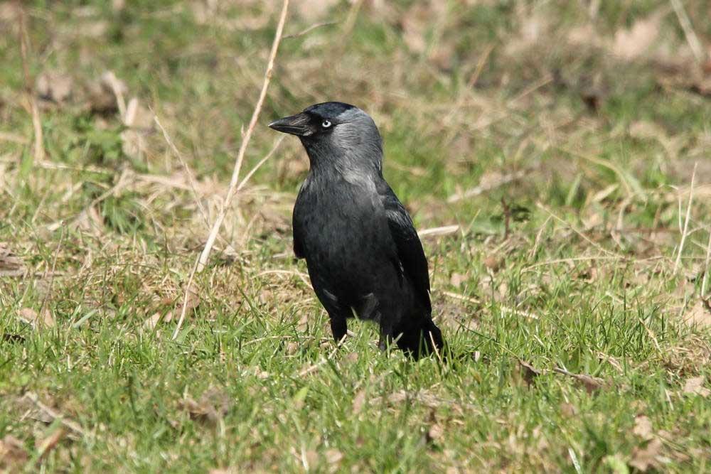 Dohle, Vogel des Jahres 2012, in den Steverauen bei Olfen am 22.03.2012 Foto: Tom Peter