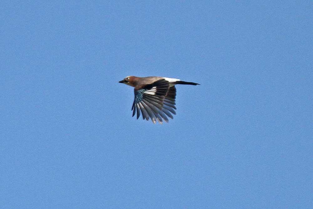 Vielleicht ein Vorbote eines späten Eichelhähereinfluges...am 16.09.12 Foto: Gregor Zosel