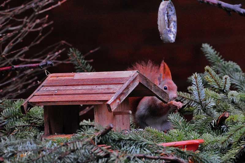 Eichhörnchen am Futterhaus im eigenen Garten, 25.12.2012, Foto: Marvin Lebeus