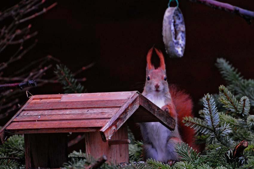 Das Hörnchen wünscht Frohe Weihnachten, 25.12.2012, Foto: Marvin Lebeus