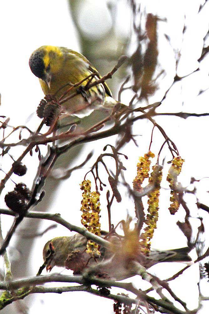 Hoch in den Baumkronen schmecken die Erlensamen am besten...am 04.03.12 Foto: Gregor Zosel