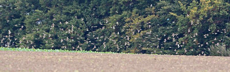 Vogelmassen sind gar nicht so leicht zu fotografieren: ein Teil des Felderchen-Schwarmes bei Ostbüren, 14.10.2012 Foto: Bernhard Glüer