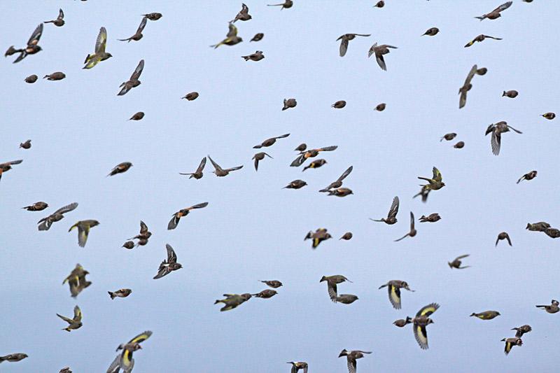 Ein bunter Finkenschwarm: Bergfinken, Buchfinken, Grünfinken, Bluthänflinge und Distelfinken, 29.10.2012 Foto: Bernhard Glüer