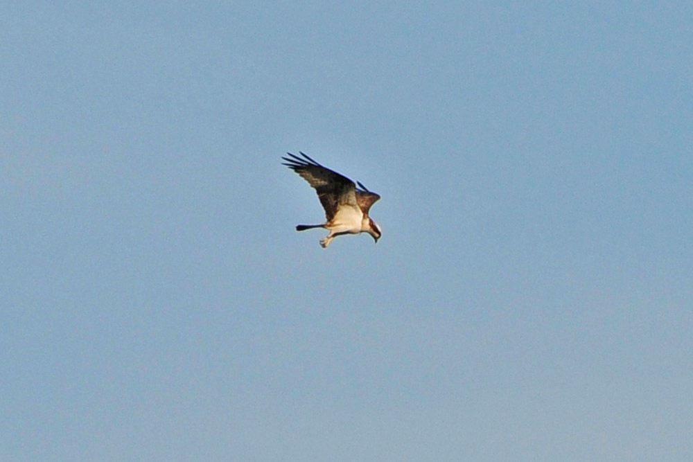 Fischadler über der Ruhr im NSG Kiebitzwiese...am 09.09.12 Foto: Marvin Lebeus