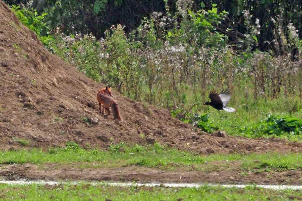 Ein Fuchs wird von den Rabenkrähen attackiert...am 06.09.12 Foto: Marvin Lebeus