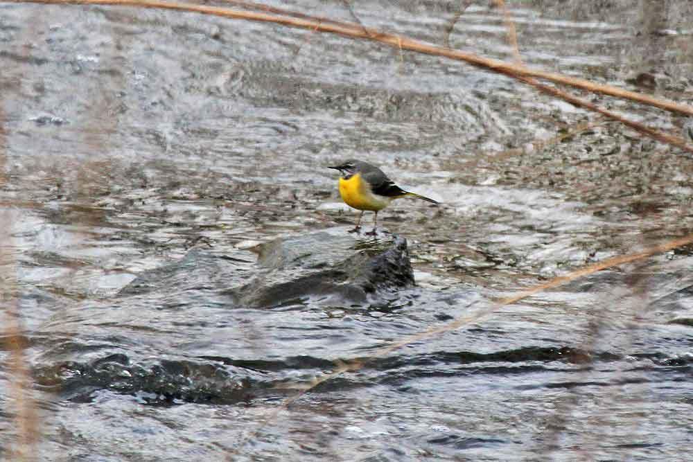 An der Fischtreppe auch wieder eingetroffen:: die Gebirgsstelze...am 07.03.12 Foto: Gregor Zosel