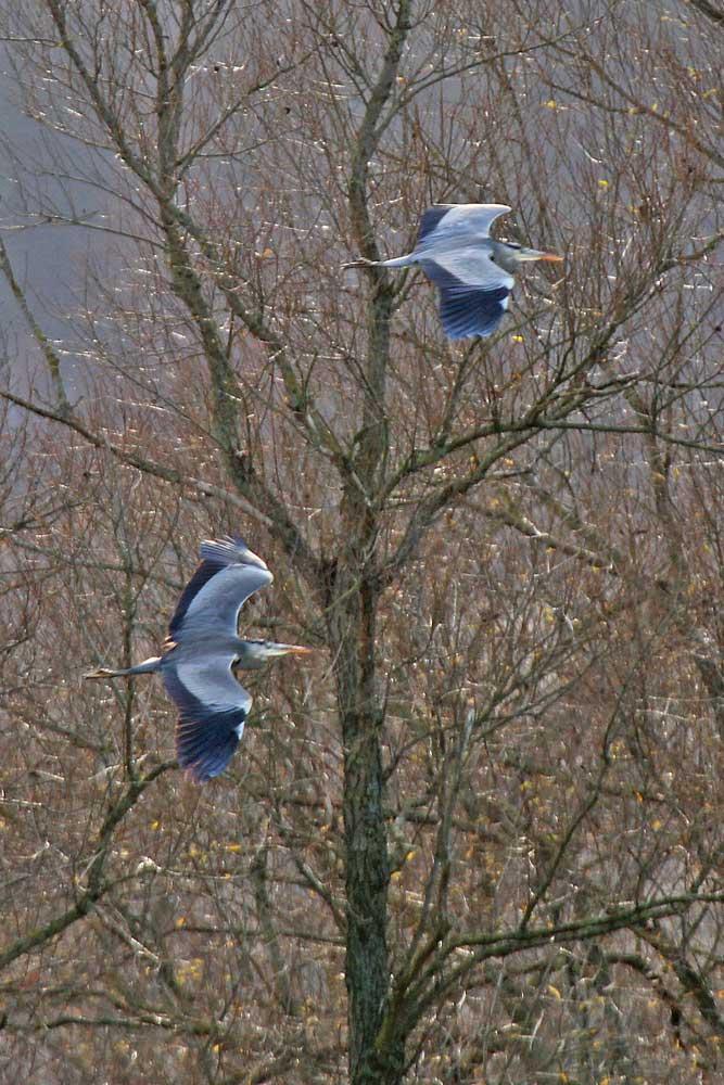 Graureiher über der Kiebitzwiese..am 25.11.12 Foto: Gregor Zosel