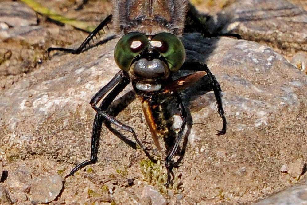 Bei genauerer Betrachtung erkennt man, wie diese Libelle ebenfalls ihr Frühstüch verzehrt...am 23.07.12 Foto: Marvin Lebeus