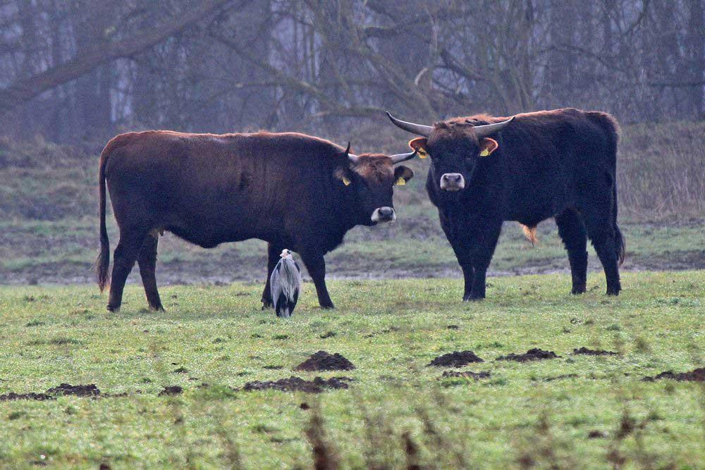 Heckrinder mit Graureiher. Stillleben auf der Kiebitzwiese am 15.01.12 Foto: Gregor Zosel