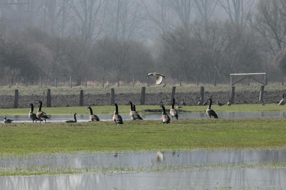 Heiliger Ibis und Kanadagänse im NSG Lippeaue Werne bis Heil am 15.03.12 Foto: Tom Peter