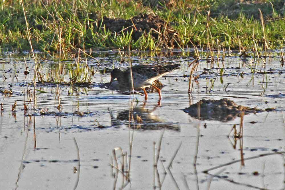 Im seichten Wasser gibt es viele Leckerbissen zu finden....am 19.03.12 Foto: Gregor Zosel