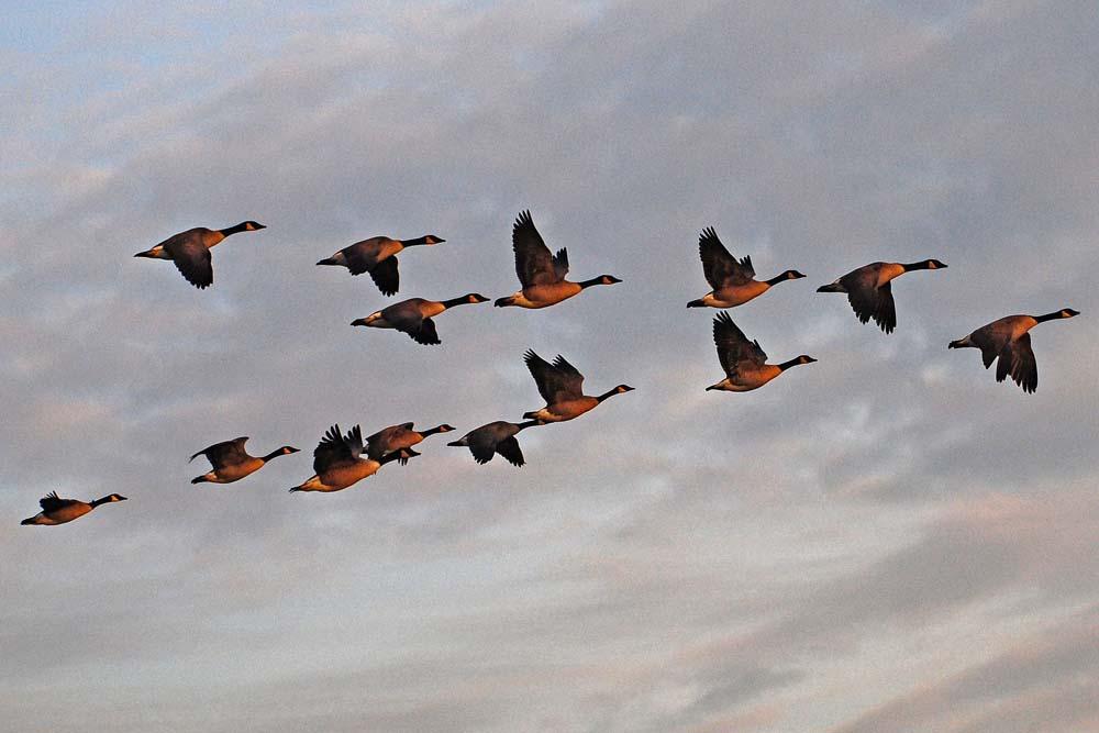 Kanadagänse überfliegen die Kiebitzwiese in Richtung Frühstückstisch, 20.12.2012, Foto: Marvin Lebeus