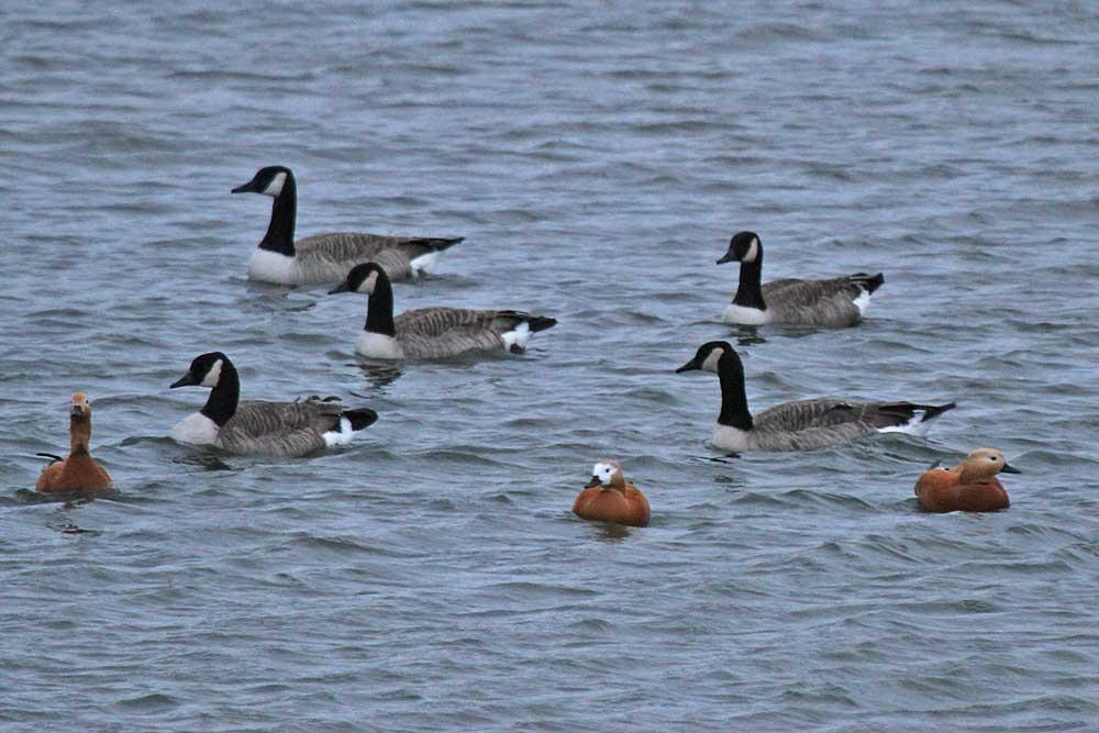 Auch Rostgänse und Kanadagänse haben sich wieder eingefunden...am 25.11.12 Foto: Gregor Zosel